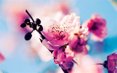 22 Cherry Blossom Backgrounds Wallpapers Images Cherry Blossoms