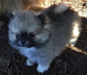 pomeranian breeders northern california pomeranian breeders personally recommended