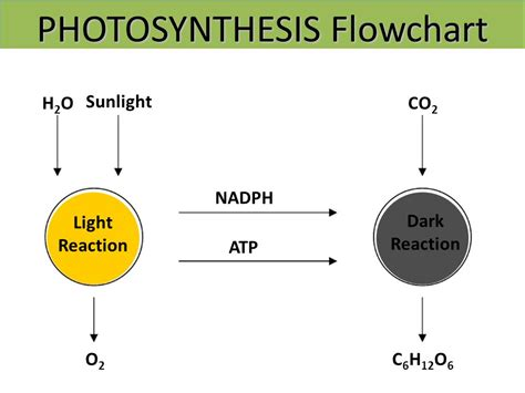 photosynthesis flowchart photosynthesis flowchart create a flowchart