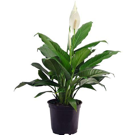 peace lily variegated leaf spathyphyllum wallisii petite