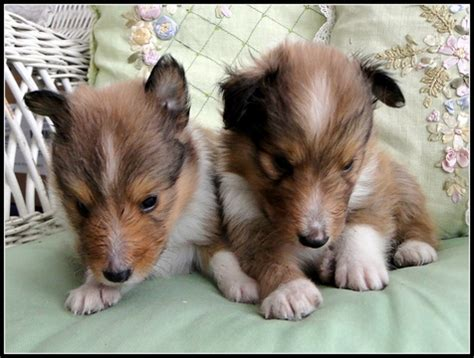 sheltie puppies for sale in ga view ad shetland sheepdog puppy for sale statham