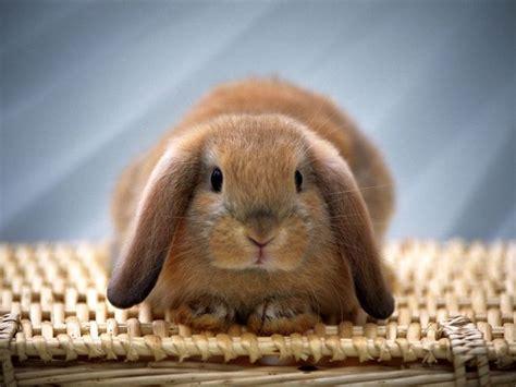 gabbia coniglio nano prezzo coniglio nano prezzo conigli nani come scegliere un