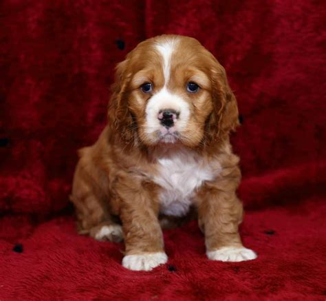 cocker spaniel puppies wi pet for sale