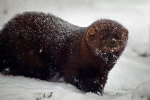file fisher animal snow storm west virginia