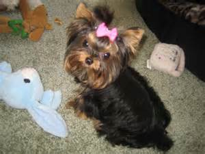 yorkie haircuts yorkie haircuts for nika on pinterest yorkie haircuts and hair cuts