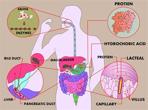 2 proteins in the human digestion homework help