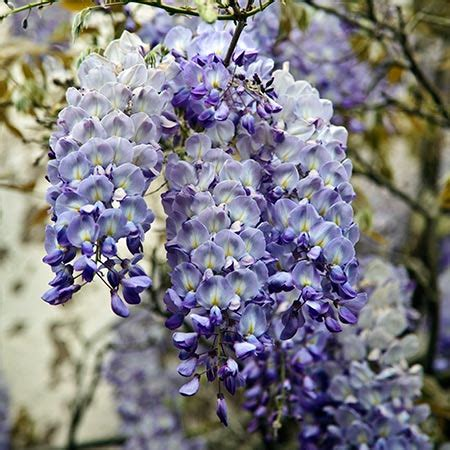 blue moon wisteria for sale fast growing trees com