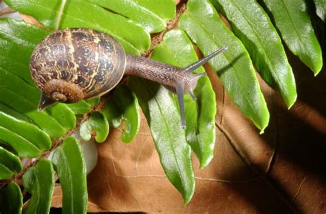 backyard snails garden snail australian museum