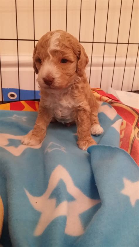 dogs for sale cumbria toy for dog toy for dog beautiful toy poodle puppies for sale ipswich suffolk