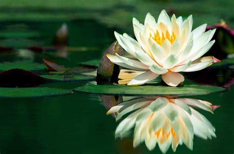 fiore simbolo di rinascita tesori d oriente docciacrema aromatica al fior di loto e