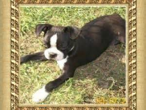 boston terrier puppies louisiana boston terrier puppies in louisiana