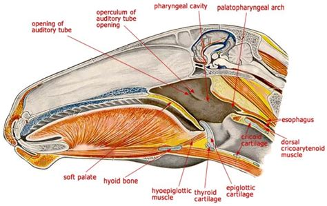 html head section head section left sagittal section of the head