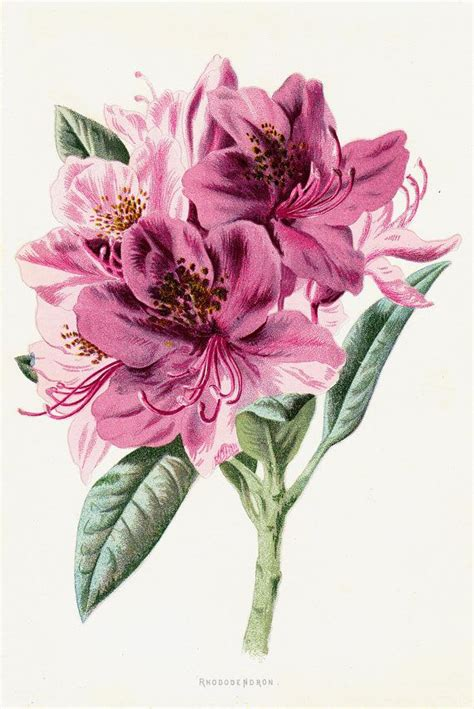 libro botanical drawing in color 1887 gorgeous antique flower print color lithograph of a pink rhododendron original antique