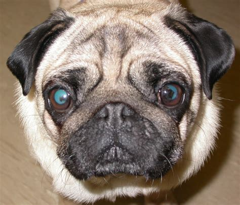 a pug a pug pigment problem veterinary ophthalmology