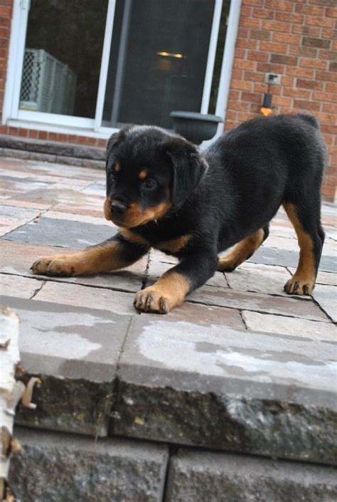 scary names for rottweilers 1000 images about rottweiler on puppys rottweiler puppies for sale and