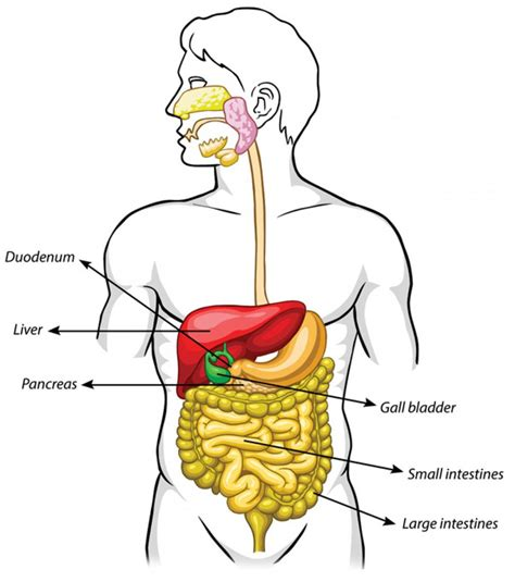 where is your pancreas located diagram pancreas location this diagram shows the location of