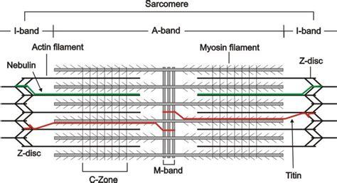 m line creatine kinase print circulatory nervous system flashcards