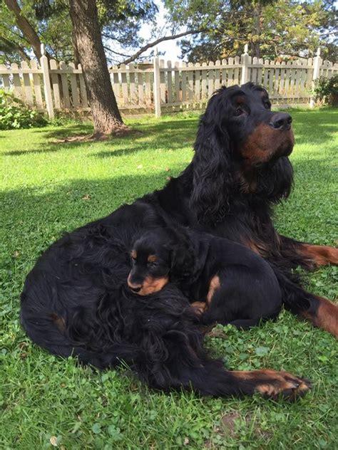 gordon setter dog names 218 best setters images on pinterest english setters