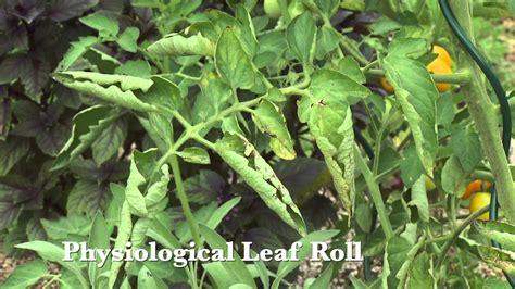 common symptoms of plant diseases tomato diseases