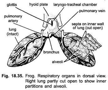 respiratory system of frog diagram respiratory system of frog with diagram vertebrates
