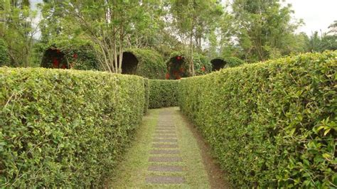 Teh Rumput Teki wow ternyata indonesia punya labirin wisata carapedia