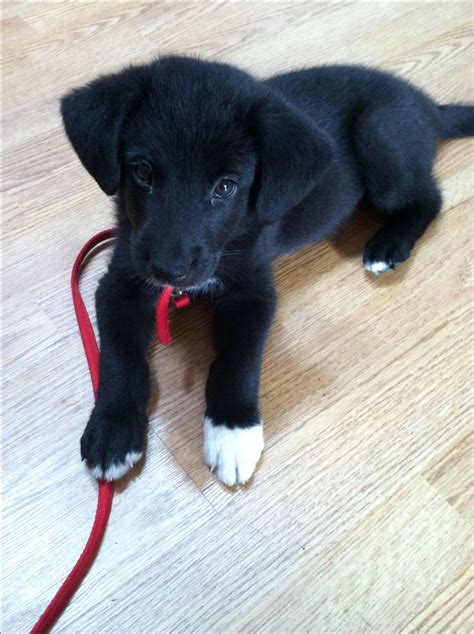 german shepherd golden retriever mix puppies for sale in michigan 25 best ideas about black lab mix on lab mix