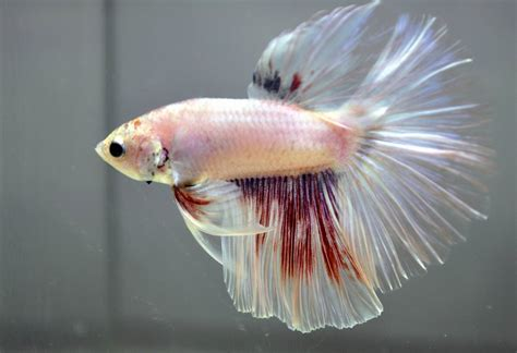 betta fish changing color multicolor betta by wickedlygreen on deviantart