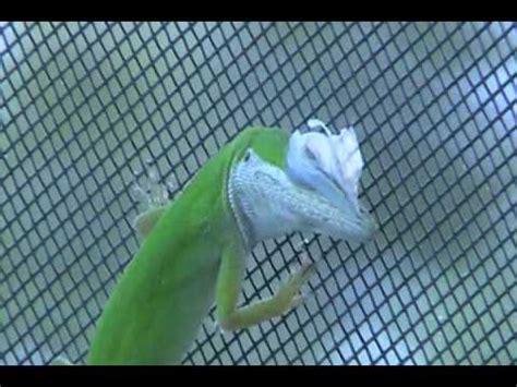 central florida green anole lizard shedding