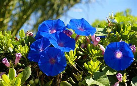 fiori medicinali canula piante medicinali