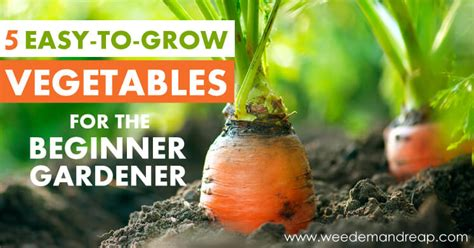 vegetables easy to grow 5 easy to grow vegetables for the beginner gardener