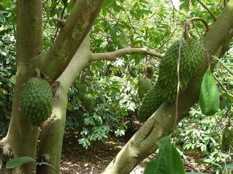 g fruit guanabana graviola o guan 225 bana es el nombre fruto citot 243 xico