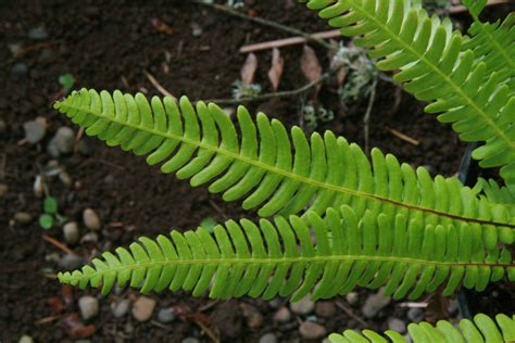 Backyard Pictures by Deer Fern Blechnum Spicant Pacific Northwest Native Fern