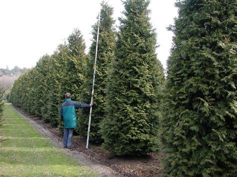 thuja pflanzen abstand 2939 thuja pflanzen abstand thuja hecke pflanzen und pflegen