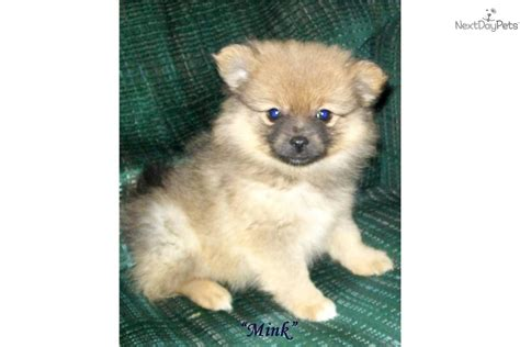 pomeranian puppies for sale new orleans teacup tiny pom puppies playful for sale dogs puppies breeds picture