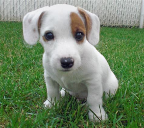 jrt puppies milo the terrier puppies daily puppy