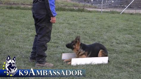 how to your like a k9 puppy obedience justice atok 5 months german shepherd k9