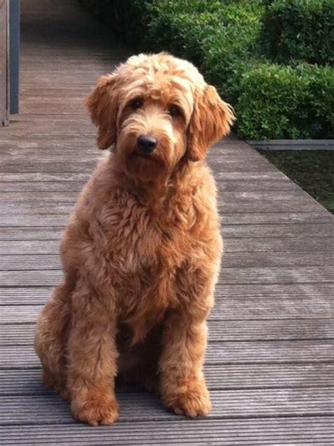 mini doodle hund echte goldendoodle minis zu vergeben diemelsee