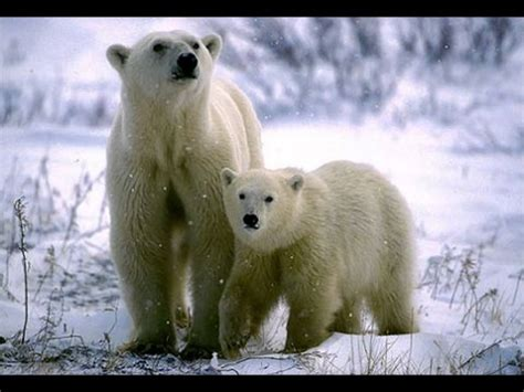imagenes de animales en extincion animales en peligro de extincion quot selajarg quot youtube