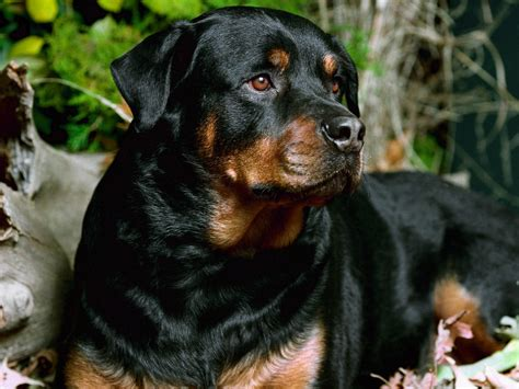 rottweiler dangerous dogs list list of the top 10 most dangerous dogs german shepherds breeds picture