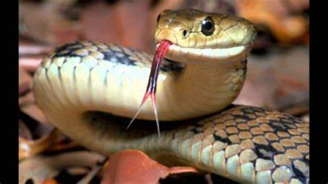 sir david attenborough impression snakes youtube