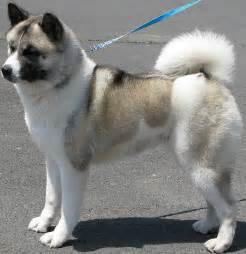 Akita Puppy Pictures and Information   Puppy Pictures and ...