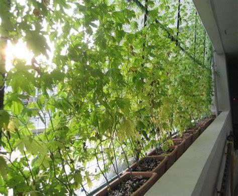 edible climbing plants edible green curtains provide shade and food