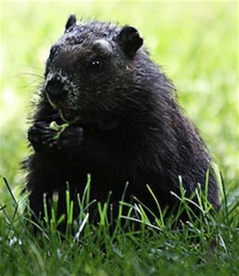 groundhog day for a black black groundhog