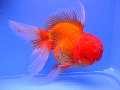 pesci testa di oranda rosso testa di angoli di natura