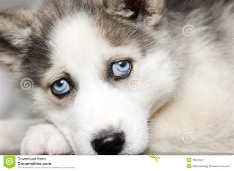 siberian husky puppies with blue blue of siberian husky puppy royalty free stock photography image 18675587