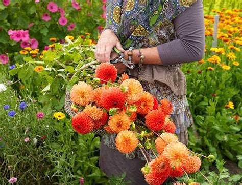 cut flower gardens best dahlias for cutting