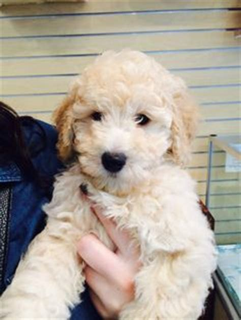 mini goldendoodle tucson mini goldendoodles for sale buddy mini goldendoodle