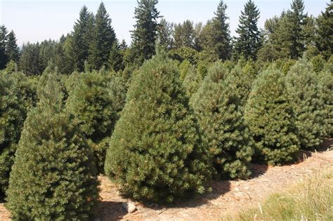 scots pine scotch pine tree properties and facts