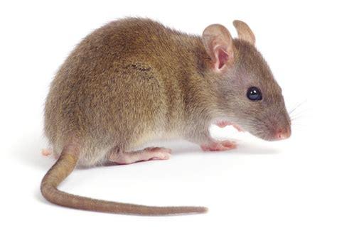 souris rat groupe scorpion exterminateur