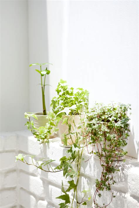 climbing houseplants to grow indoors ultimate guide to climbing plants greener on the inside
